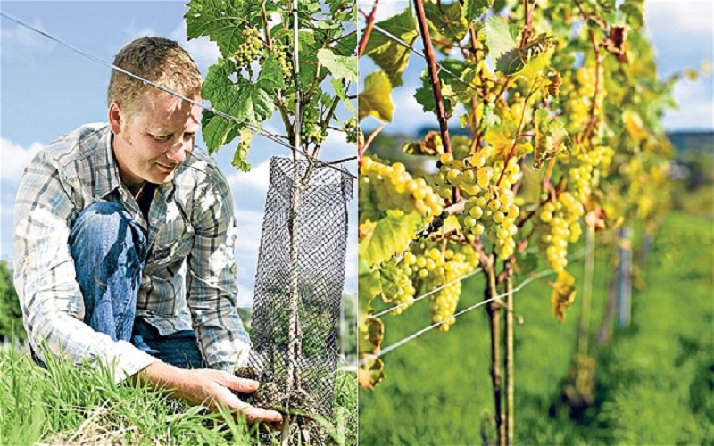 How to grow a vine
