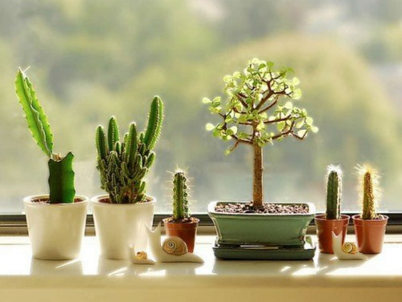 THE CACTUS IN YOUR HOME