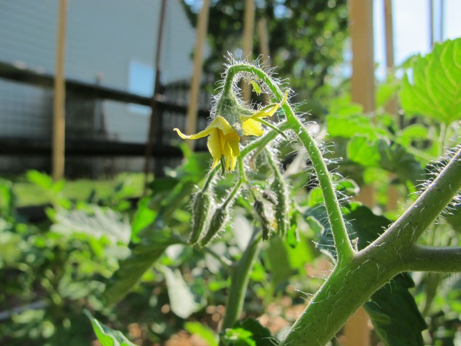 How to pollinate tomatoes